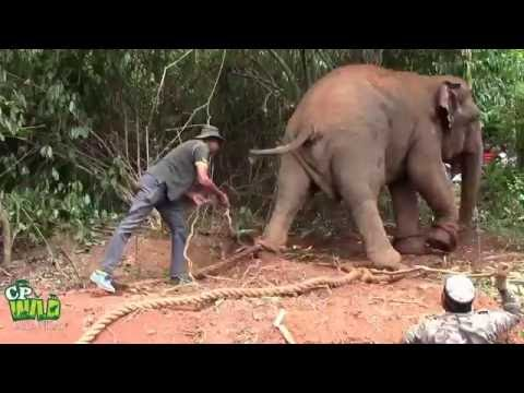 Capturing of an aggressive elephant !