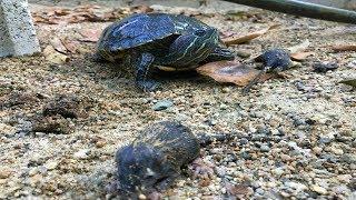 ratas-crean-madriguera-para-comerse-los-huevos-de-tortugas
