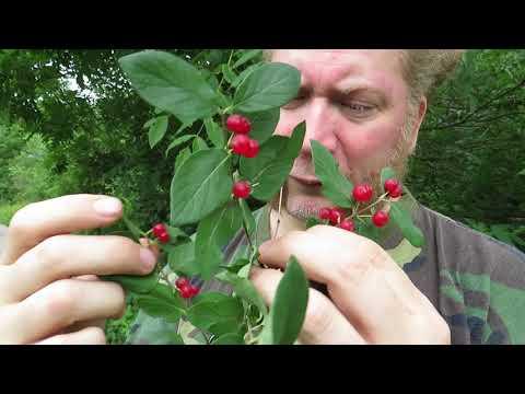 Noxious Plants - Tartarian Honeysuckle