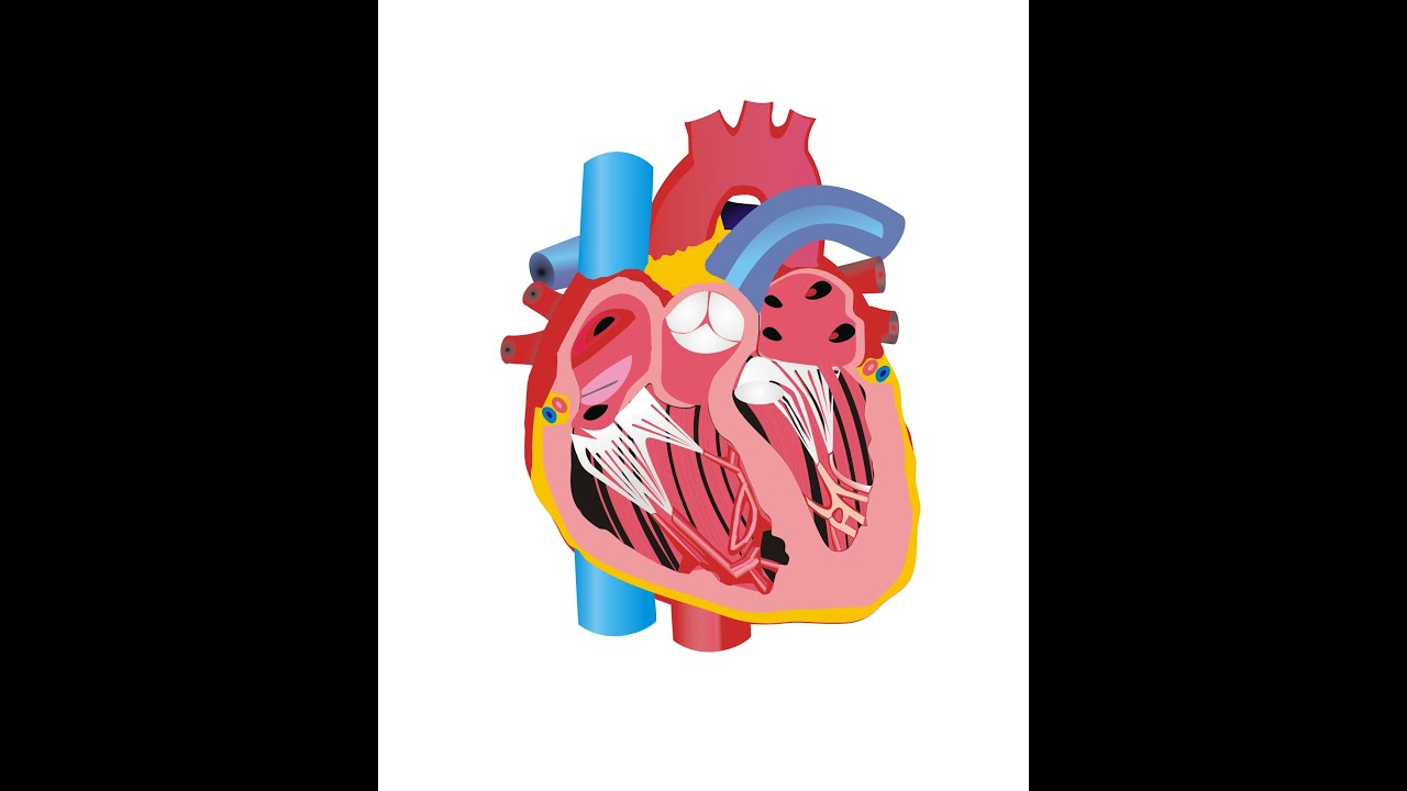 animasi bagianbagian jantung  YouTube