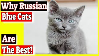 Why Russian blue cats are the best? Do Russian blue cats have green eyes?