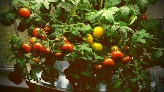 Οικιακό υδροπονικό σύστημα Aerogarden με ντομάτες