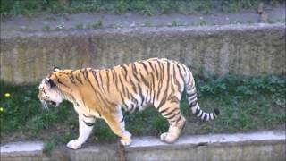 tygrysy z Łódzkiego zoo