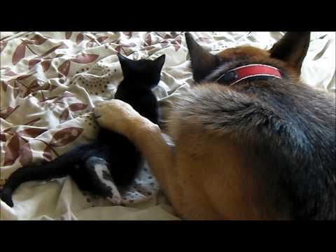 German Shepherd falls in love with Kitten