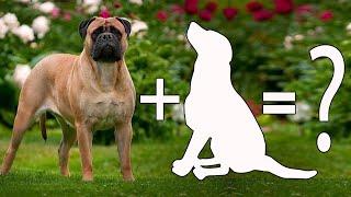 Top 10 Unreal bullmastiff cross breeds   Bullmastiff mix breeds