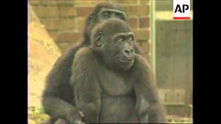 USA: NEW YORK: GORILLA TWINS ONLY SIXTH TO BE BORN IN CAPTIVITY