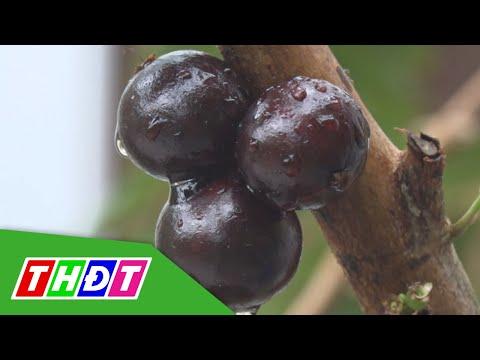 Thu nhập cao từ mô hình trồng nho thân gỗ ở Lai Vung, Đồng Tháp | THDT