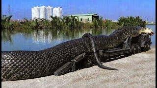 Самый большой змей в мире/Любопытные факты