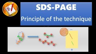 SDS - PAGE