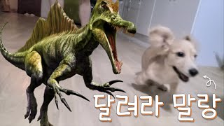 ENG) 달려라 말랑/ Run! Malrang/ 아기 닥스훈트 말랑이의 달리기 실력
