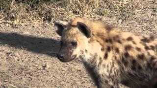La hyène qui avait faim près de la mare - Fishing Hyena