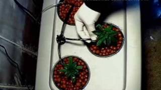 Marijuana Grow Closet Set Up Hydroponic Master Kush
