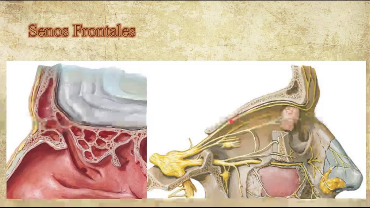 Anatomia y fisiologia de los senos frontales/Anatomy and fisiology ...