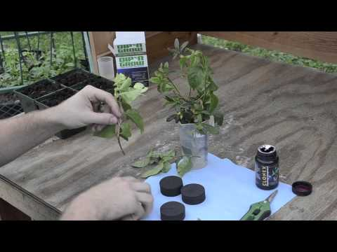 Cloning Woody Plants Experiment part 1