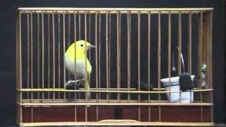 メジロ(目白)~幻♪黄金の高鳴♪ thumbnail