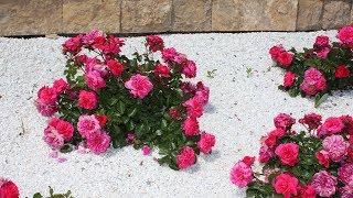 Розы, которые не подводят  Сезон 2018. Обзор сортов