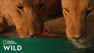 Tak wygląda nauka polowania przez młode lwy! [Narodziny lwiego stada]