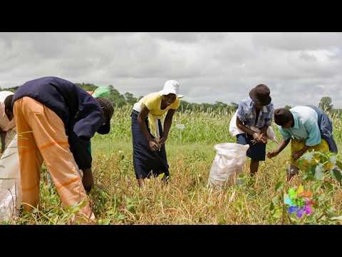 Giving cowpea farmers a choice