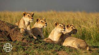 Pride of Lion Feasting in Ruaha    360° Virtual Tour
