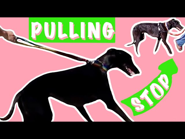 How to use a harness to stop a Greyhound pulling on the leash