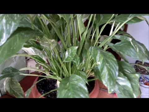Вопрос: Спатифиллум. Нужно ли удалять лист вместе с с отцветшим цветком (см.)?