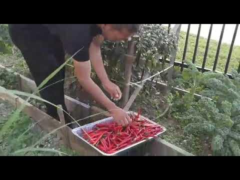 Panen cabe organic di Haiqal's Garden Philadelphia USA