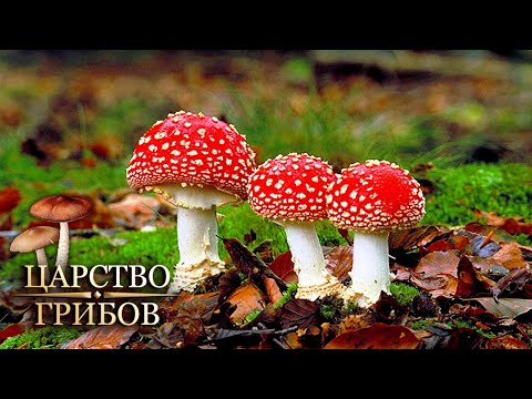 Мухоморы. Царство грибов @Моя Планета