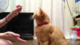 我が家の猫にお手をさせてみたら、すぐに覚えて、ハイタッチもすぐに覚...