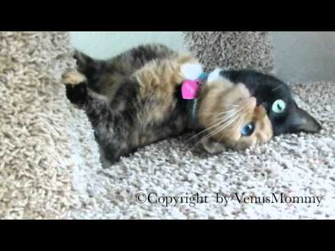 Venus the Chimera kitty playing on cat condo…. CUTEST VIDEO YET!