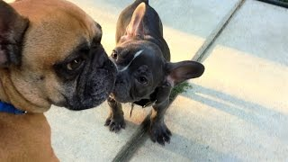 French Bulldog Teddy Meets His New Puppy Brother!