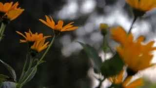 Летние цветы в моем саду(Летние цветы в моем саду Выращивание лилейников и других многолетних садовых цветов, не требующих ухода...., 2015-07-15T20:10:29.000Z)