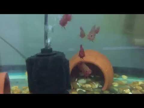 Shortbody Red Jewel Cichlids