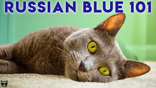 Russian Blue Cat 101  Watch This Before Getting One