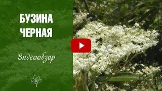 видео Бузина черная уход и выращивание
