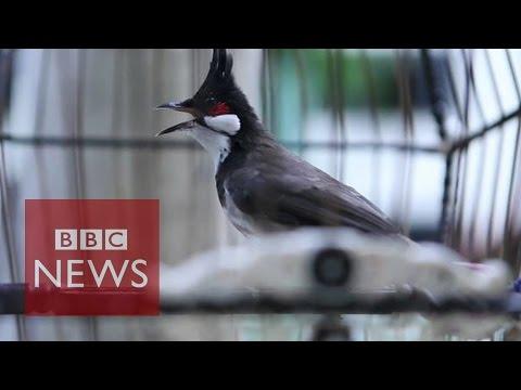 Singapore's love of birdsinging - BBC News