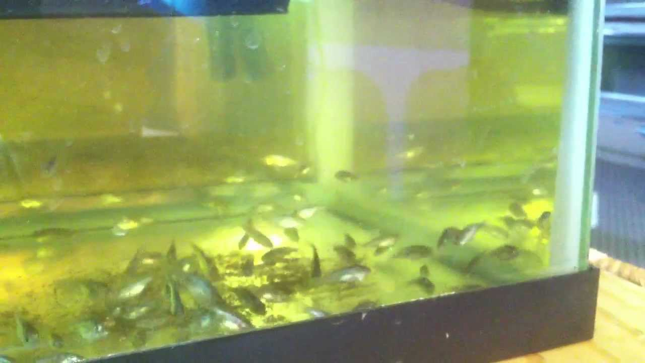 Tilapia Fry Feeding Frenzy In A Tabletop Aquaponics Nursery