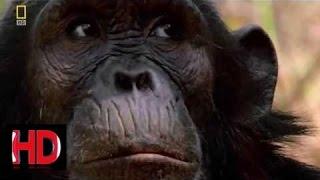 Охота кровожадного охотника Опасные приматы Документальный фильм 2016 National Geographic HD - 6L21