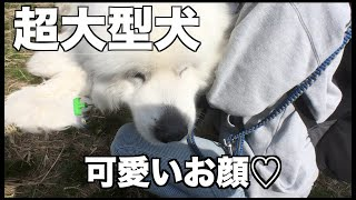 2019円2月24日に行われたビッグワン大集合。 超大型犬の集まりに行って...