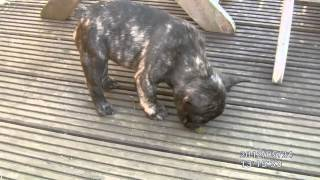 French Bulldog X Pug Puppys Playing With Boston Terrier