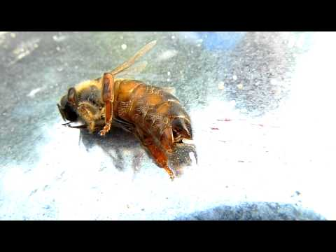 Queen Bee Lays On Side Laying Eggs Part 2