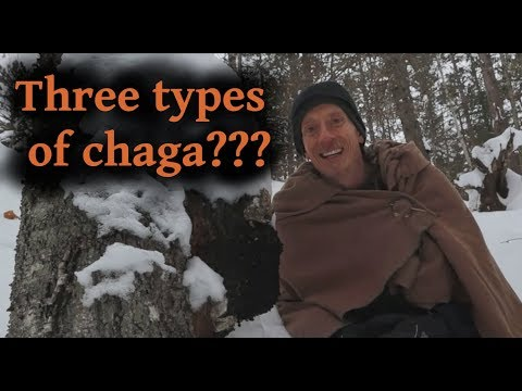 3-types-of-chaga-mushroom,-3-different-uses