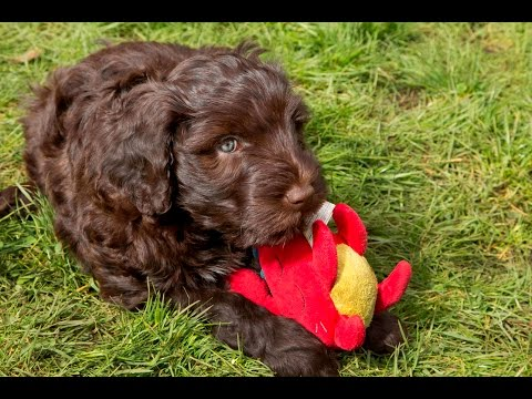 Wright's Portuguese Water Dogs at 9 weeks old