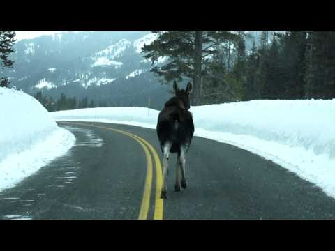 moose chase in yellowstone