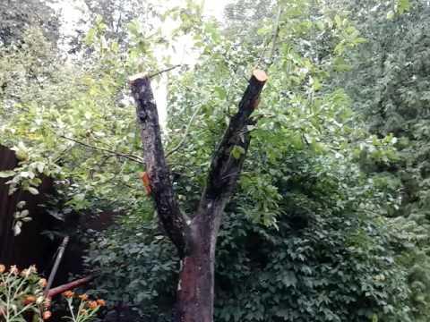 Вопрос: Как омолодить дерево облепихи?