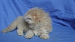 Персидский кремовый котенок