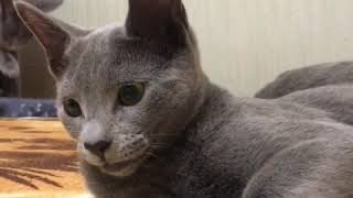 Русская Голубая кошка! Русские голубые котята! Питомник Русских Голубых Ruzara!