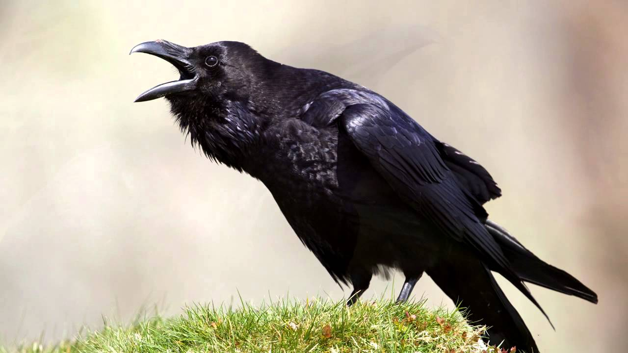 raven bird call youtube