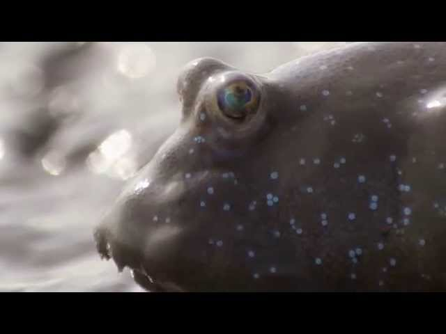 Mudskipper's high jumps – Nature's Greatest Dancers: Episode 1 Preview – BBC One