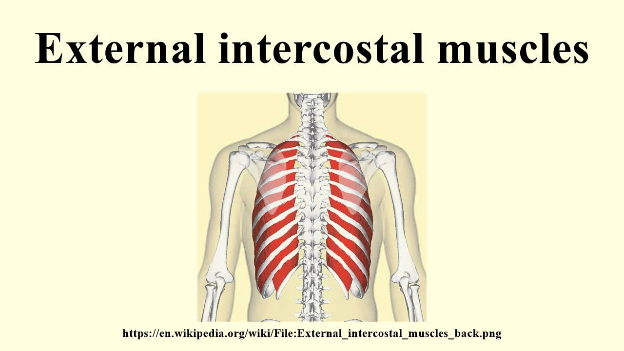 External intercostal muscles - YouTube