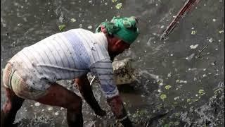 গ্রাম এলাকায় দীঘী সেচে বড় বড় শৌল মাছ কীভাবে ধরা হয় || fish catch 2018 in youtube